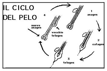 ciclo del pelo